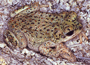 Description de l'image Bufo.punctatus.web.jpg.