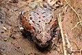Bufo japonicus formosus 04.jpg