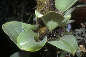 Description de l'image Bulbophyllum beccarii 1.jpg.