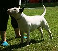 Bull Terrier white3.JPG