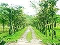 Bunga Bangsa Samarinda - panoramio.jpg