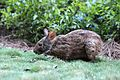 Bunny at Wilderness Lodge (19453034668).jpg