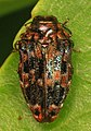 Buprestid - Brachys ovatus, Occoquan Regional Park, Lorton, Virginia.jpg