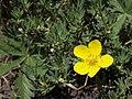 Bush cinquefoil, Dasiphora fruticosa (15425911184).jpg
