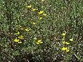 Bush cinquefoil, Dasiphora fruticosa (15860740018).jpg