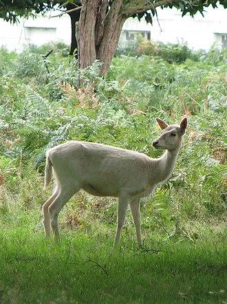 Dali (goddess) - A white deer, one of Dali's preferred animal forms