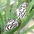 Butterflies mating (11007658445).jpg