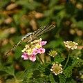 Butterfly 1410380 Nevit.jpg