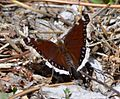 Butterfly Mammoth Lakes (20140420-0085).JPG
