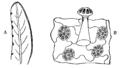 Butterwort 1.png