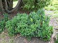 Buxus sempervirens bush.jpg