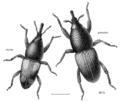 COLE Curculionidae Sitophilus granarius-oryzae.png