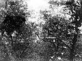 COLLECTIE TROPENMUSEUM Reigerkolonie in de bomen TMnr 10006492.jpg