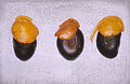 CSIRO ScienceImage 1748 Germinating Seeds.jpg