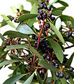 CSIRO ScienceImage 3982 Leaves and Berries of the Mountain Pepper Tasmannia lanceolata.jpg
