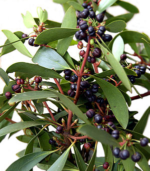 Tasmannia lanceolata - Leaves and berries of the Mountain pepper
