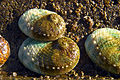 CSIRO ScienceImage 7549 Cultured abalone.jpg