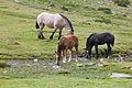 Cabalos no alto da Coma. Andorra 292.jpg