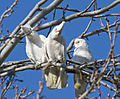 Cacatua sanguinea -Toongabbie Creek, Sydney, Australia -three in tree-8.jpg