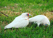 Two mainly white-plumaged cockatoos on what appears to be a lawn. One cockatoo is standing upright and has a long upper mandible and orange-pink feathers its face and chest. The other cockatoo has its head in the grass with its bill not visible.