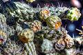 Cactus (8313231702).jpg