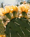 Cactus bloom at the Nevada Test Site 2.jpg