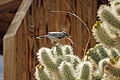 Cactus wren (Campylorhynchus brunneicapillus) building a nest - 12938364434.jpg