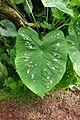 Caladium bicolor-Jardin des plantes de Nantes (1).jpg