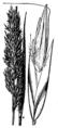 Calamagrostis purpurascens HC-1950.png