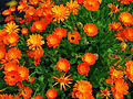 Calendula officinalis 001.JPG