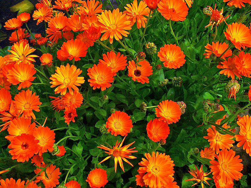File:Calendula officinalis 001.JPG