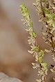 Callipeltis cucullaris 1.jpg
