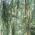 Callistemon citrinus-IMG 0338.jpg