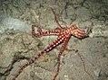 Callistoctopus macropus en colère (photo de nuit).jpg