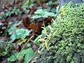 Calocera cornea - geograph.org.uk - 638154.jpg