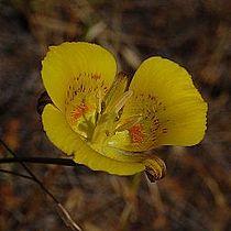 Calochortus luteus-7.jpg