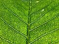 Calodendrum capense, geurkliere, a, Uniegeboutuine.jpg
