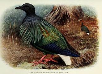 Nicobar pigeon - Painting by Henrik Grönvold