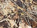 Calopteryx splendens (Calopterygidae), female (14760478589).jpg