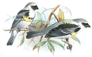 Grey-and-gold tanager species of bird