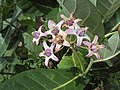 Calotropis gigantea - Crown Flower at Peravoor 2014 (9).jpg