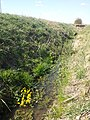 Caltha palustris sl19.jpg
