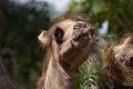 Camel - Flickr - p a h.jpg