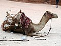 Camel in Petra, Jordan - October 2009 (4053808754).jpg