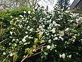 Camellia Japonica Hamburg.jpg