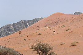 Camels in the wild (6743680689).jpg