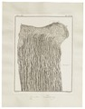 Camelus dromedarius - ingewanden - 1700-1880 - Print - Iconographia Zoologica - Special Collections University of Amsterdam - UBA01 IZ21600017.tif