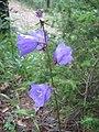 Campanula persicifolia, Rhodope Mountains.jpg