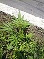 Canabis Creciendo en las calles de La Ciudad de Mexico.jpg