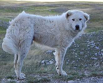 Maremma Sheepdog - A working Maremmano on the Gran Sasso of Abruzzo, Italy
